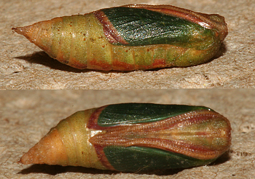 pupa 6 1/2 hours before adult emerged