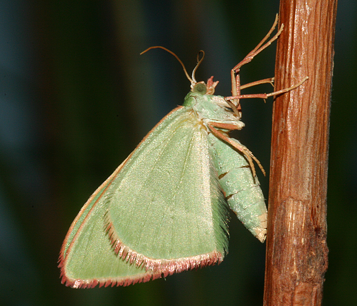 female just after emerging