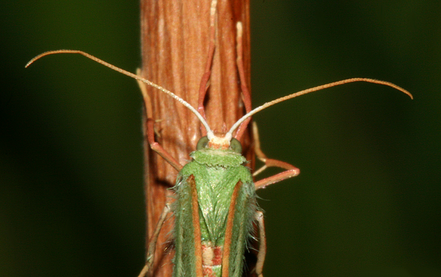 dorsal view of head and antennae