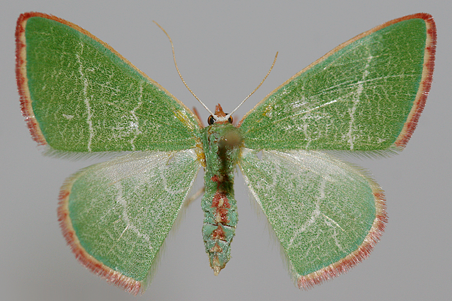 female specimen - upperwing