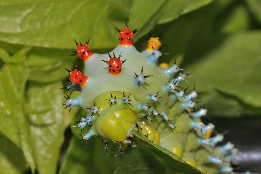fourth instar feeding