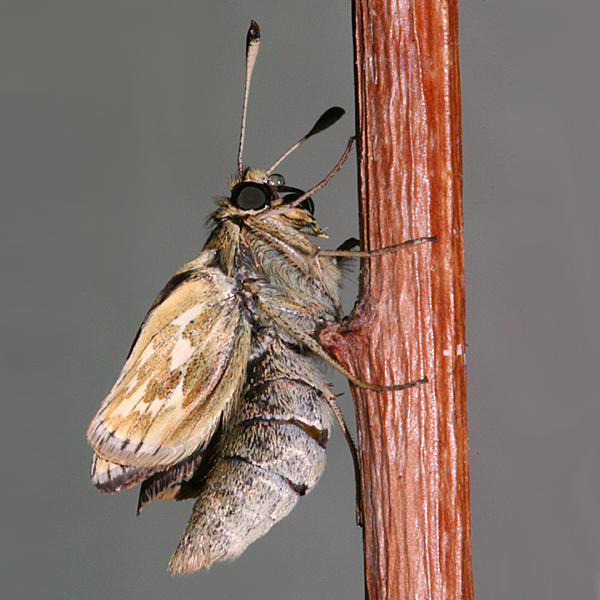 female inflating wings