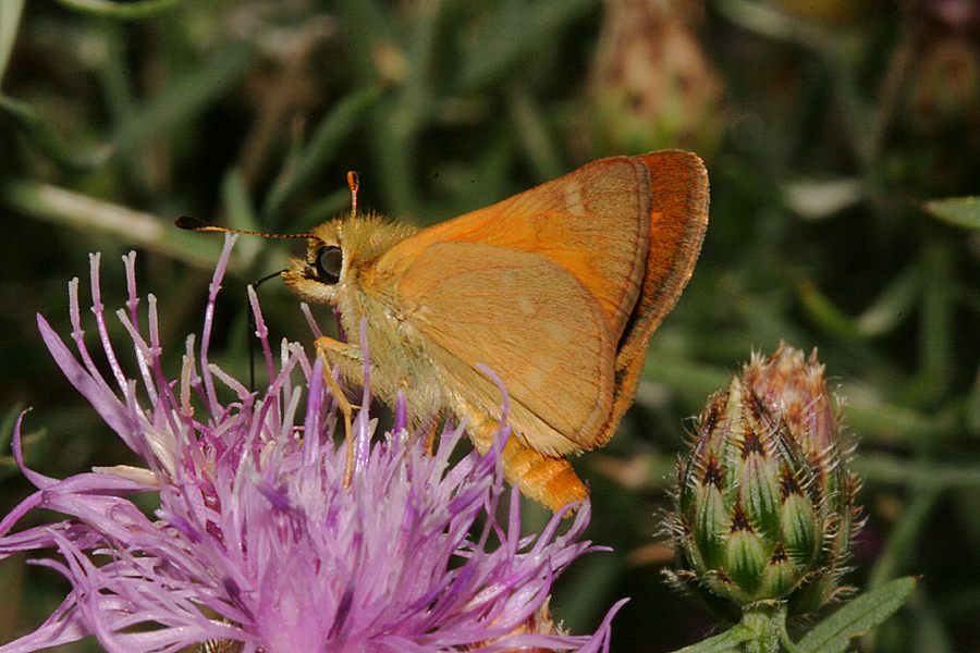 Woodland skipper nectaring- Butterfield Canyon
