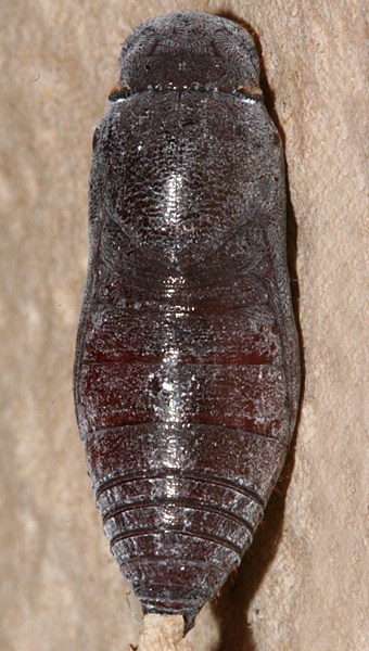 pupa showing development 25 October 2011
