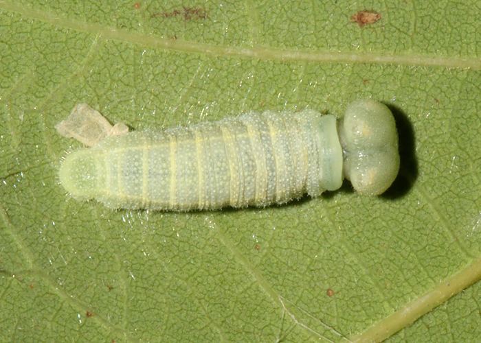 larva just after molting to 4th instar