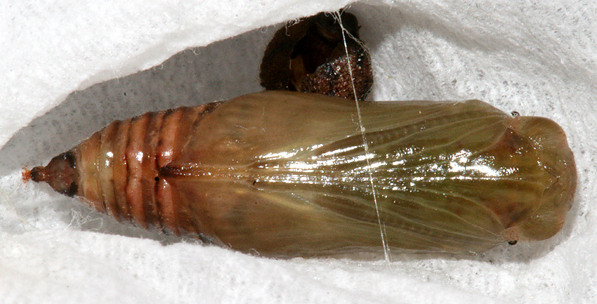 Pupa #1 on March 5, 2007