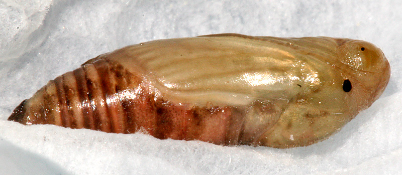 pupa #1 on March 10, 2007