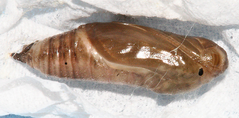 Pupa #2 on March 14, 2007