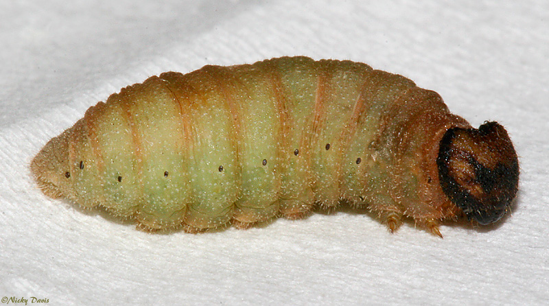 Larva on February 25, 2007 after coming in from winter diapause