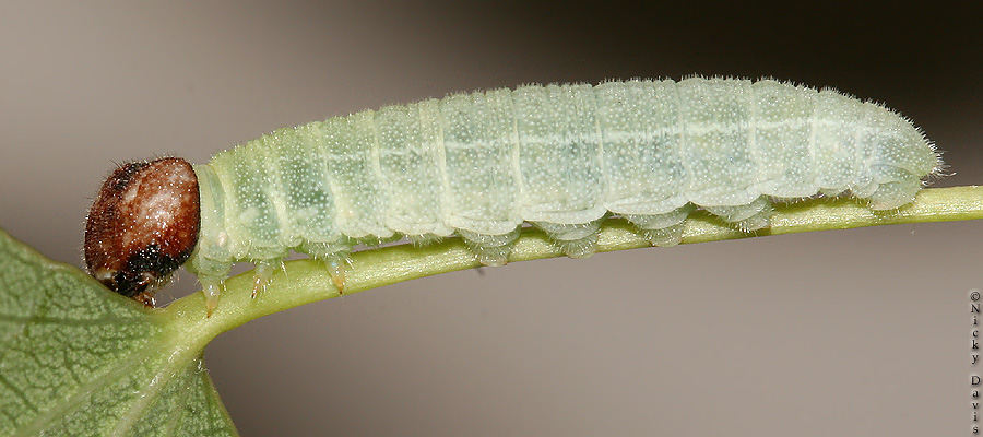 lateral view of Erynnis icelus larva