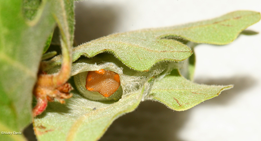 telemachus larva peeking out from it's nest