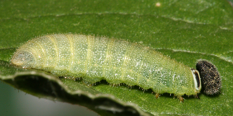 5th instar-lateral