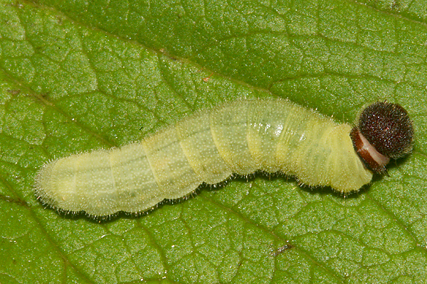 4th instar on August 12th
