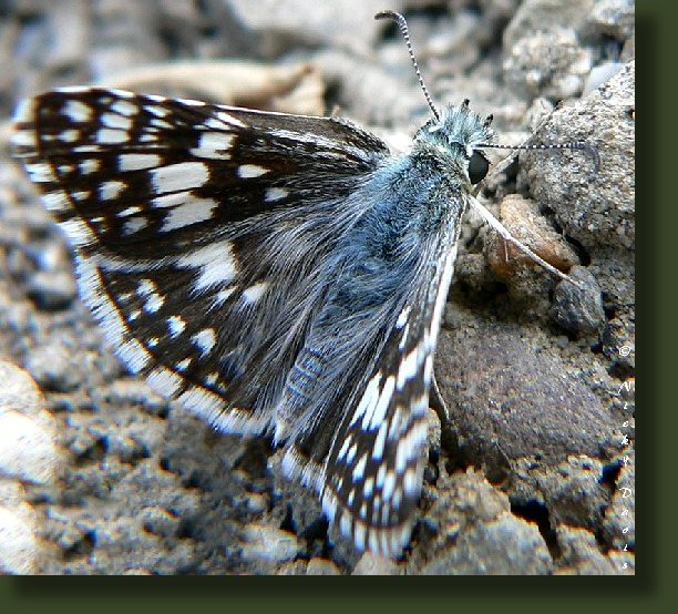 male has long black and white hairs on top of head and