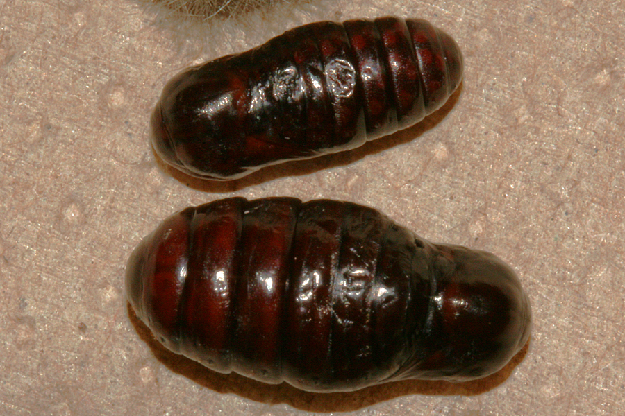 male to female pupa comparison