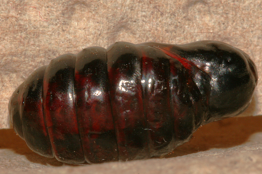 female pupa