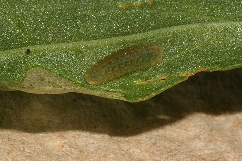 #2 third instar