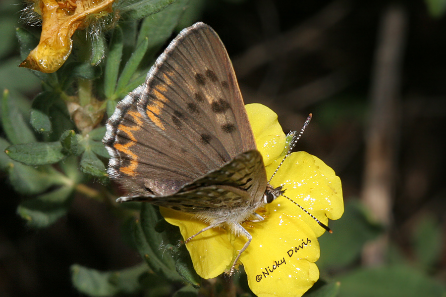 lycaena copper, edith's