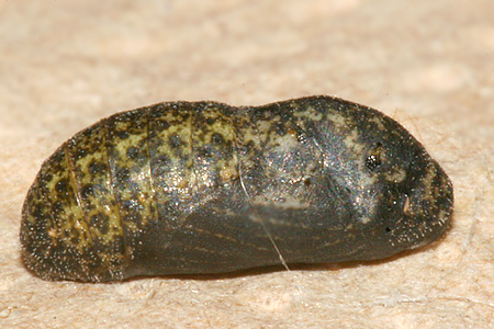 #2 formed pupa and photographed on 11 August 2009