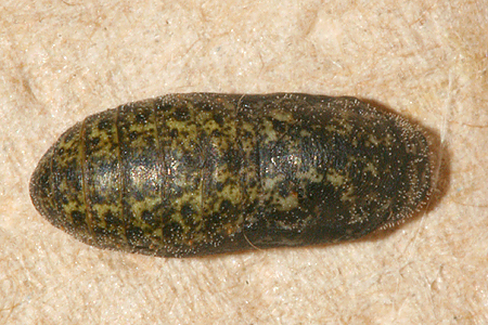 # 3 pupa formed and shot 11 August 2009, dorsal view