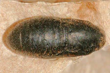 #3 pupa about 3 hours before butterfly emerged