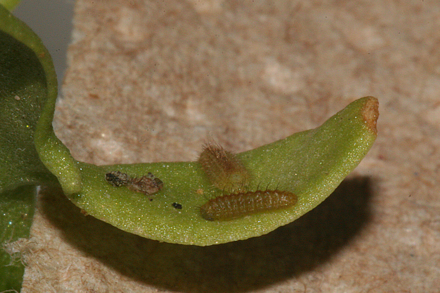second instar