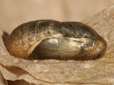male pupa about 1 1/4 hours before emerging