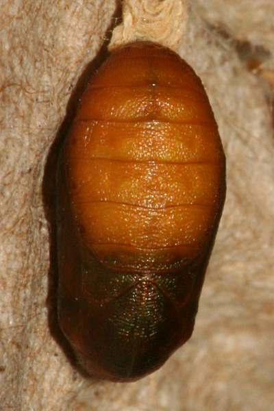 #5 pupa formed 26 July, photo 6 August