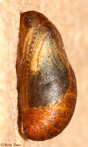 lateral view of the larva on the day it eclosed
