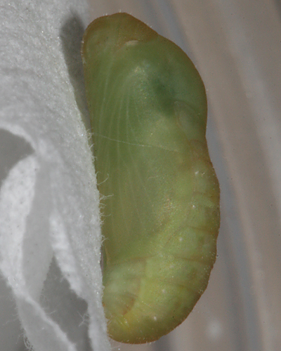 pupa #3 formed October 10, 2008