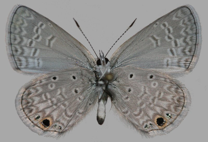 Male - Ventral View