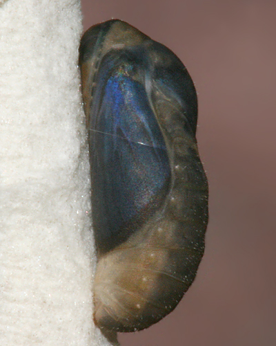 Pupa #3 showing devlopment 8 A.M. October 19, 2008