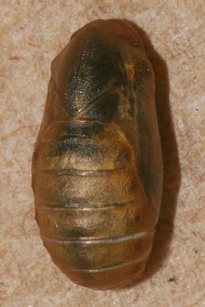 #10 male pupa  12 minutes before emerging