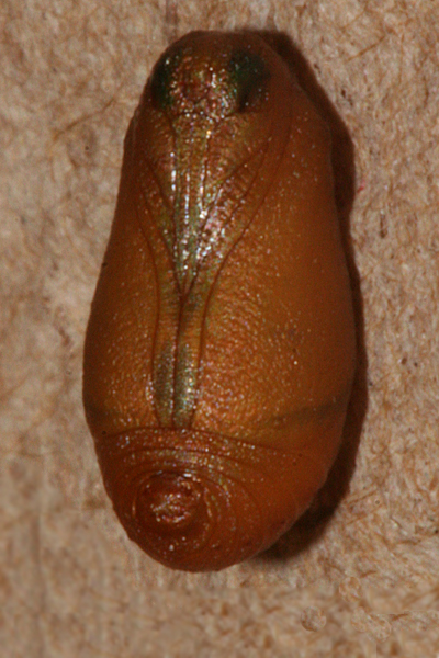 pupa showing dark eye