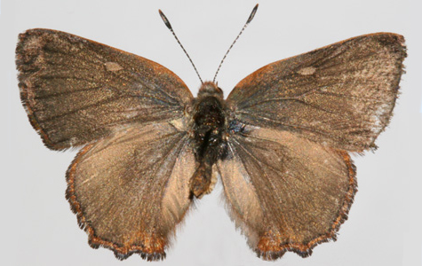 Male upperside