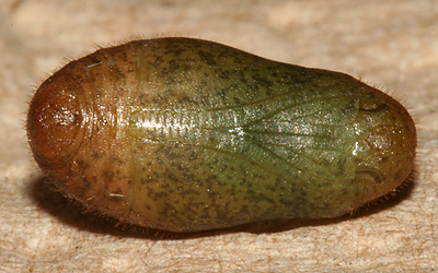 ventral view of pupa
