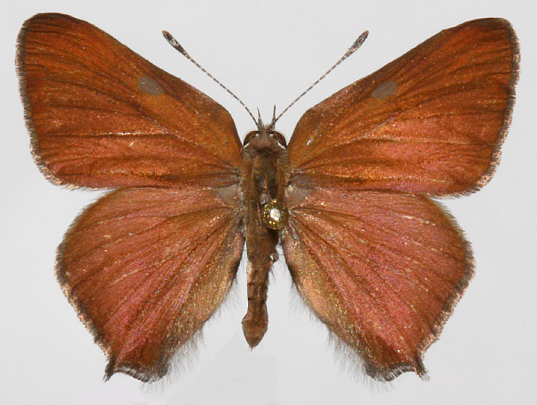 Male upperwings
