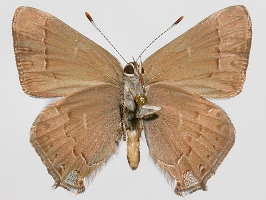 Male underwing