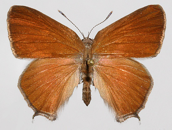 Female Upperwing