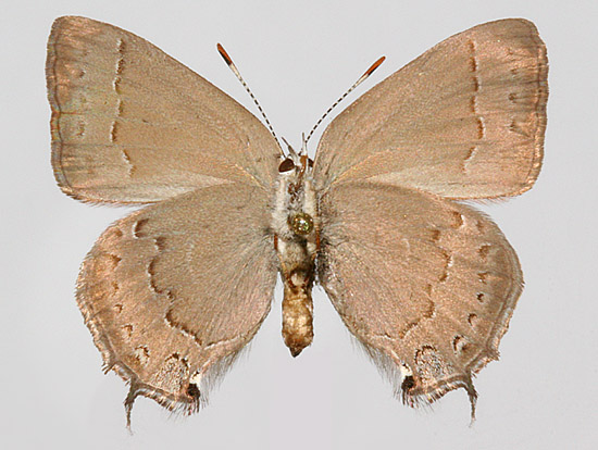 Female Underwing