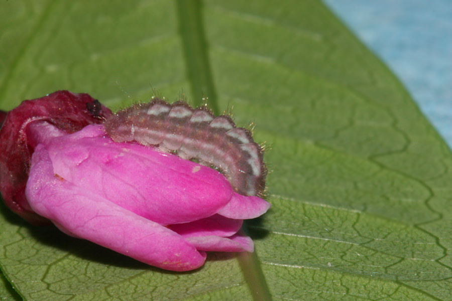 lateral view - third instar