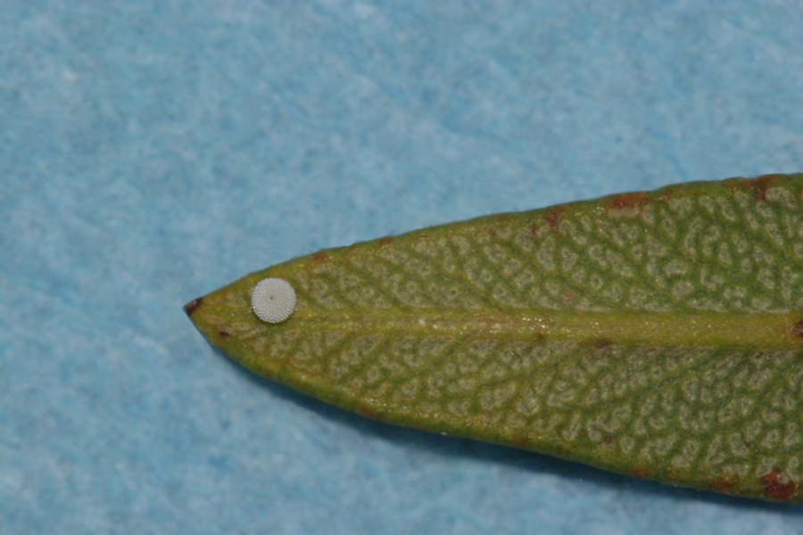 oviposited on the underside of a leaf