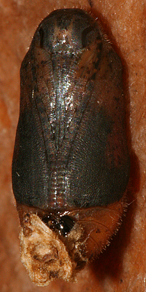 pupa #4 showing dark wing