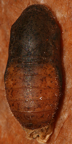Dorsal view of pupa #4
