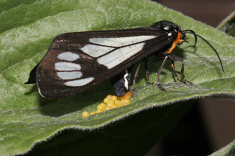 female ovipositing