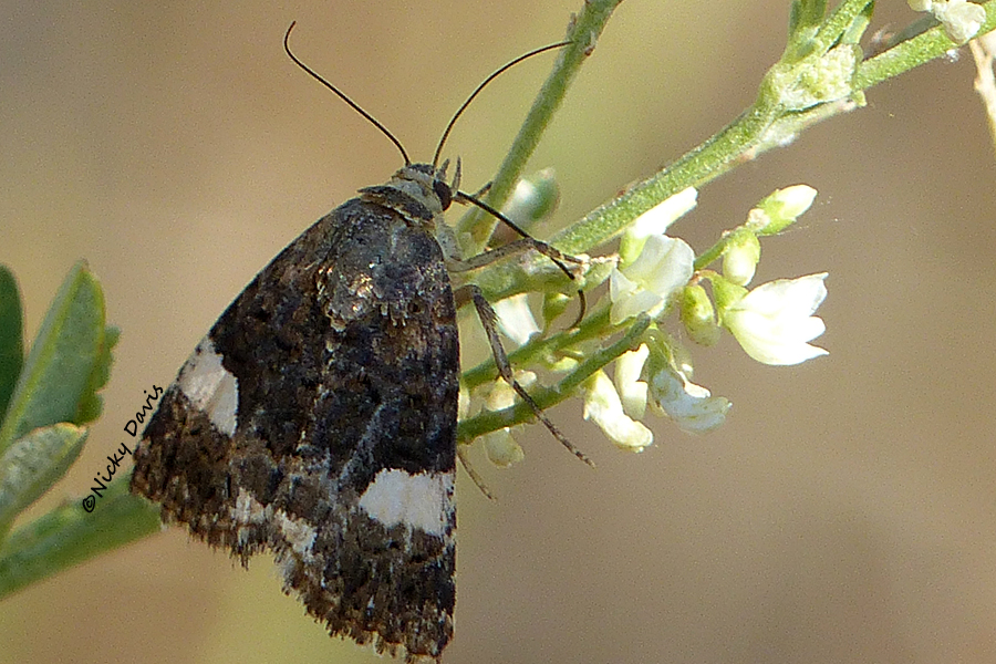 4 spotted or bind weed moth