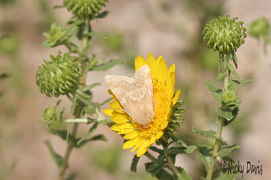 tan moth on gumweed at antelope island
