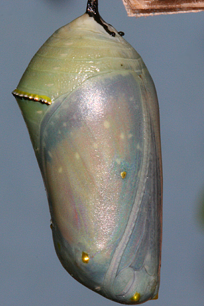 Pupa showing development 17 October 9:38 P.M.