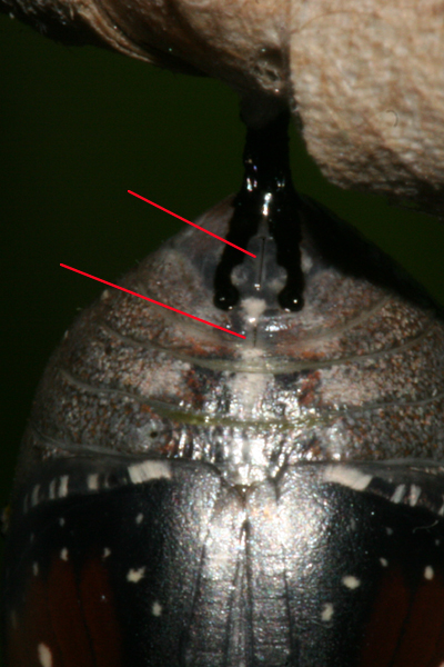2 slits at tip of abdomen may mean this is a female