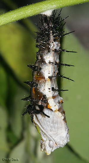 Head and wing case of pupa has emerged